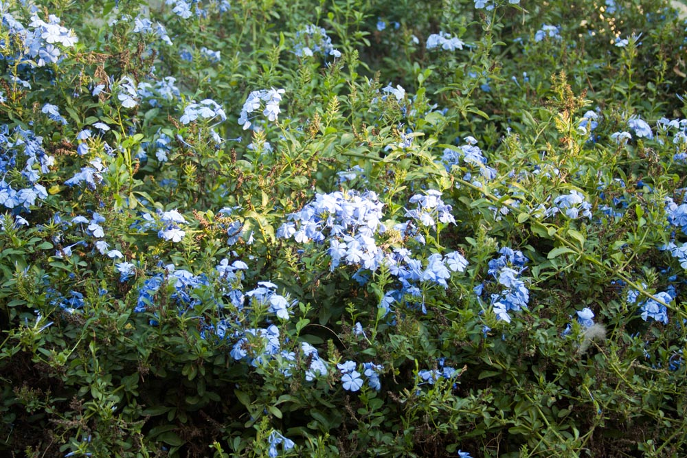 Garden with blue flowers